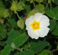 Rock Rose -Helianthemum Mutabile- 50 seeds