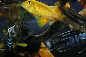 "OUT OF STOCK*ASSORTED AFRICAN CICHLIDS (6PACK)(FREE SHIPPING 1-3 DAY) (1""-2.5"")"
