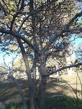 4 x Tree unrooted cuttings PRUNUSST.JULIEN-PURPLE PLUM TREE(17year old USA tree)