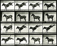 Eadweard Muybridge Photo, Motion Study, Donkey Kicking, 1880s, 17x11""