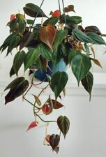 2 x CUTTINGS Philodendron Micans Hederaceum Velvet Heart aroid HOUSE PLANT