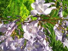 JACARANDA MIMOSIFOLIA 500 semi seeds samen semillas