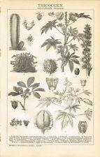 Botanische Tafel WOLFSMILCHGEWÄCHSE / KAUTSCHUK / RICINUS 1895 Orig.-Holzstich