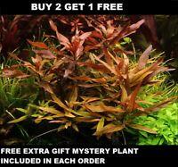 Ludwigia Peruensis Bunch Red Glandulosa Live Aquarium Plants BUY2GET1FREE