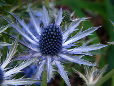 60 graines de CHARDON BLEU (Eryngium Planum)G327 SEA HOLLY SEED SAMEN SEMILLAS