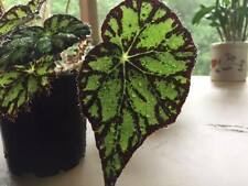 Begonia - Tiger Star - Potted Plant