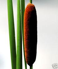 20 graines de Massette Dépolluante(Typha Latifolia)G658 SEED SAMEN SEMILLAS SEMI