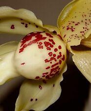 stanhopea Blanco Bloody Spotty NUEVO Hybrid Fragancia Orquídea Orquídeas