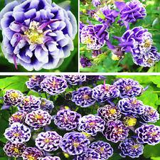 50PC Aquilegia Vulgaris Seeds Blue Columbine Double Flower Plant Home Garden