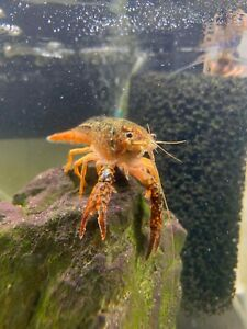 Multicolored Freshwater Crayfish