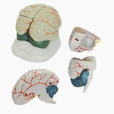 Gehirnmodell 3-teilig