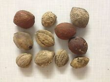 1 Saatmandel(n) + 1 gratis je Bestellung (Seemandelbaumblätter vom eigenen Baum)