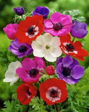 ANEMONE DE CAEN MIXED 15 BULBS SPRING & SUMMER FLOWERING READY TO DISPATCH FP&P