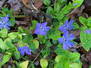 (10) Vinca Minor (Periwinkle) Plants – Irresistible groundcover - Bare root