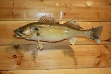 Real Skin Mount Walleye Pike Northern Musky Bass Sauger Fish Taxidermy FW1