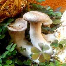 Seeds Oyster Mushroom Royal Mycelium Spawn Dried Spores Organic