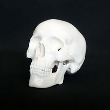 Mini Anatomical Deluxe Human Skull Model - Medical Skeleton Anatomy Replica