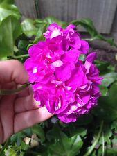 X5 Pink Ivy Pelargonium Geranium Cuttings Plants