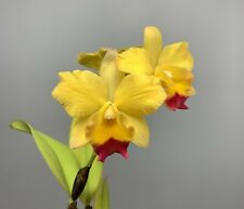 Blooming Size Orchid - (Pot. Martha Clarke `Outstanding' x Lc. Tropical Aurora)