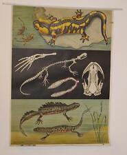 Feuersalamander - Molch  - Schulkarte - von 1963  - Lehrkarte Lehrtafel - Loft
