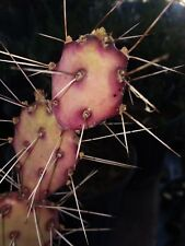 "1 Cutting, ""Mini"" Opuntia macrocentra, purple & green, small prickly pear Cactus"