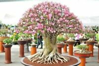 Exotic Desert Rose, (Adenium) Mixed Colors 10 Fresh Seeds From Canada
