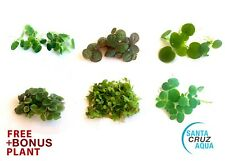 ✅6 Species Floating Plant: Red Root Floater+Salvinia Cuculata/Minima+Frogbit+D wl