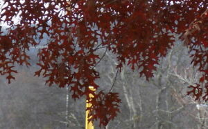 Scarlet Oak tree seed ling bonsai shade quercus coccinea   color acorn