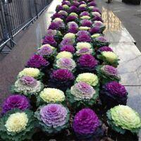 100 Seed Ornamental Kale Cabbage Vegetable Plants Heirloom Edible in Home Garden
