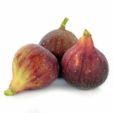 Fig Little Ruby Common Live Plant Fig 3-Inch Deep Pot Outdoor Plant