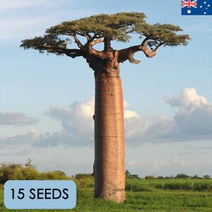 Madagascar Giant Africa Baobab Tree Seed Adansonia Grandidieri 15 seeds Exotic
