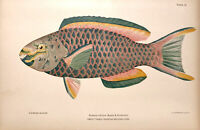QUEEN PARROTFISH ~ Old 1900 Tropical Coral Reef Florida Beach House Art Print