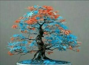 20 Seeds Japanese Maple Tree Blue and Orange Leaf  Bonsai Acer Seeds   (JPN6)