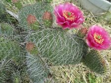 Hardy Prickly Pear Opuntia Cactus, RUFFLED PINKISH BLOSSOMS!!!