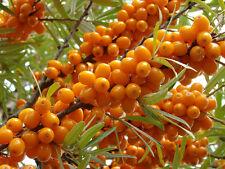100 Samen Sanddorn, Hippophae rhamnoides /angustifolia, gesunde Früchte, Schlehe
