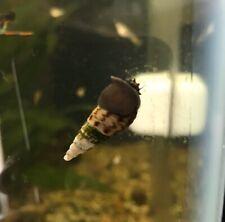 New listing 100+ Malaysian Trumpet Snails (small) Live Freshwater Aquarium Snail Mts