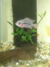 Flowerhorn Cichlid approx. 5cm Tropical Fish