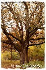 Quercus petraea 'Sessile Oak' [Ex. Co. Durham] 6 SEEDS