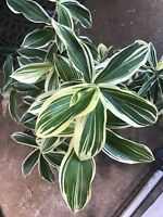 Costus Variegated Plant  Fresh And Easy To Grow. Rhizome