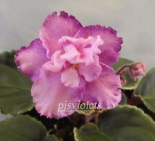 African violet Harmony's Hot Flash pair of leaves