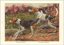 English & American Foxhound Dogs by Louis A Fuertes, antique print 1919