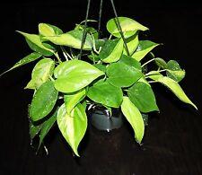 "Variegated Philodendron BRASIL Beautiful 5"" Hanging Basket Tropical Houseplant"