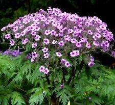 Pink GERANIUM Maderense MADEIRA CRANESBILL Herb Robert, Many Blooms! 10 Seeds