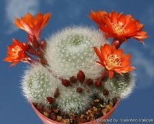 Crown Cactus Seed Arid Living Easily Grown Profuse Orange-Red Flowers Beginners