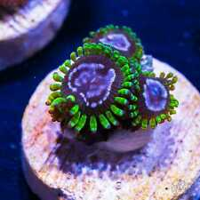 Wwc Purple Monster Zoas ~ Wysiwyg Live Coral Frag ~ World Wide Corals ~ #72