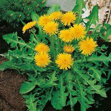 Kings Seeds - Dandelion Pissenlit A Coeur Plein - 350 Seeds