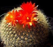 Parodia haselbergii exotic flowering lotus cacti rare cactus notocactus 50 SEEDS