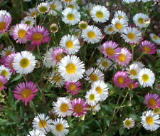 50+ ERIGERON, SANTA BARBARA DAISY / PERENNIAL, HARDY GROUND COVER FLOWER SEEDS