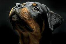A1 | Rottweiler Dog Poster Art Print 60 x 90cm 180gsm Puppy Rottie Gift #8616