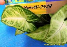 Garden or Indoor Plants Syngonium podophyllum  or Arrow Head Plant Vine